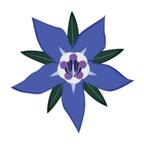 Borrage flower